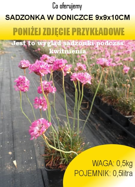 armeria_rubrifolia.jpg