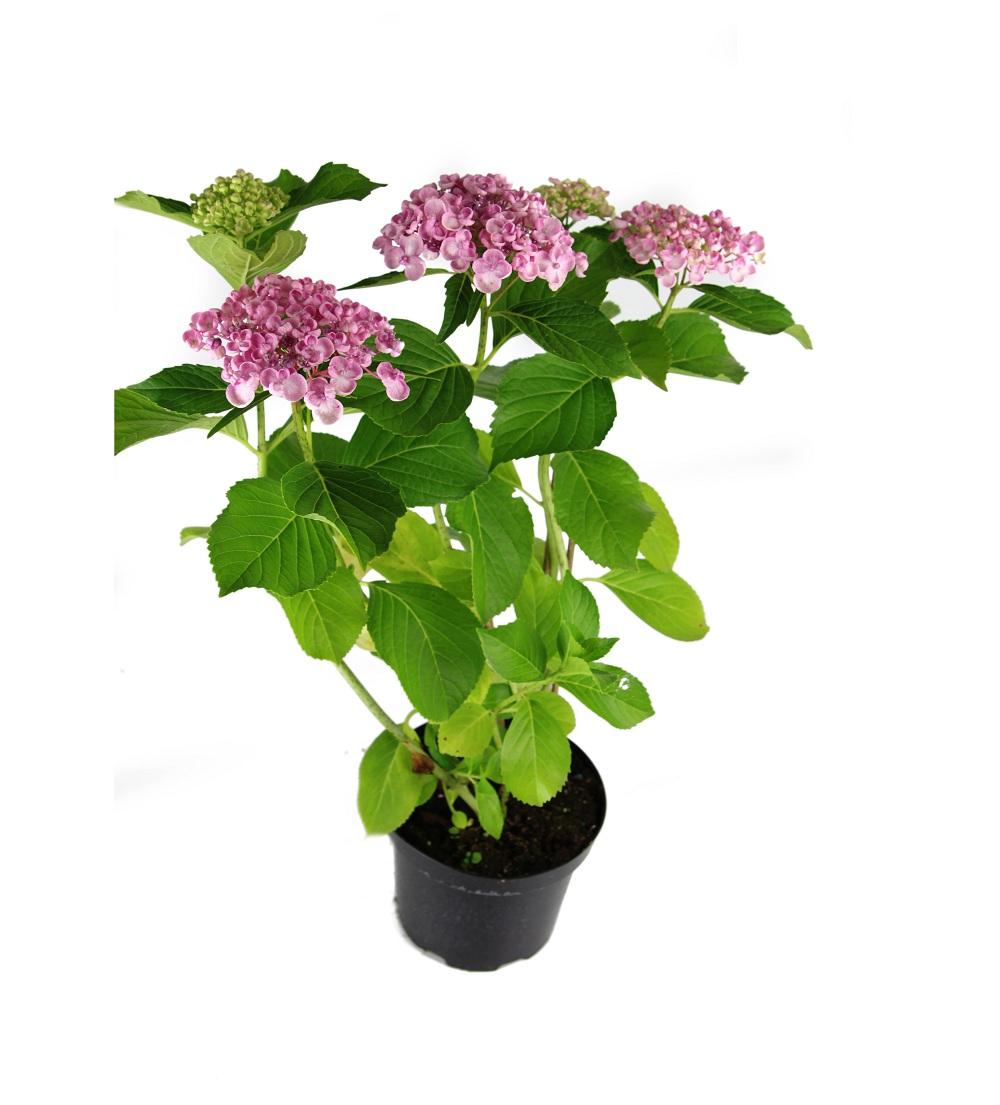 hydrangea_macrophylla_ayesha.jpg