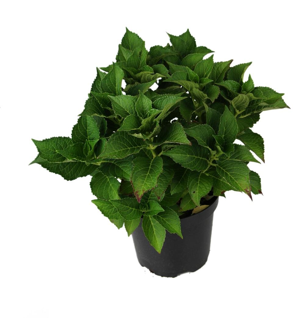 hydrangea_macrophylla_green_shadow.jpg