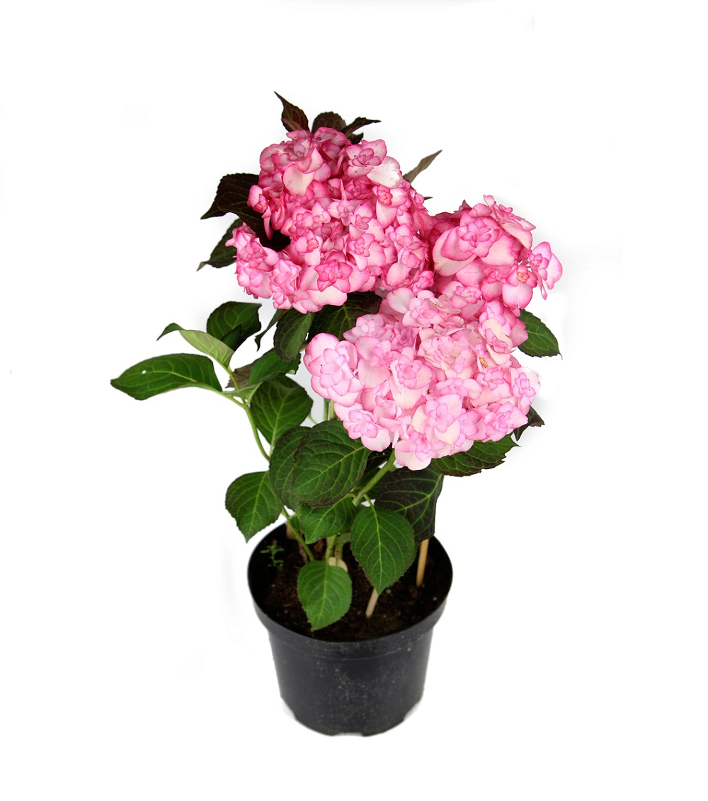 hydrangea_macrophylla_miss_saorii.jpg